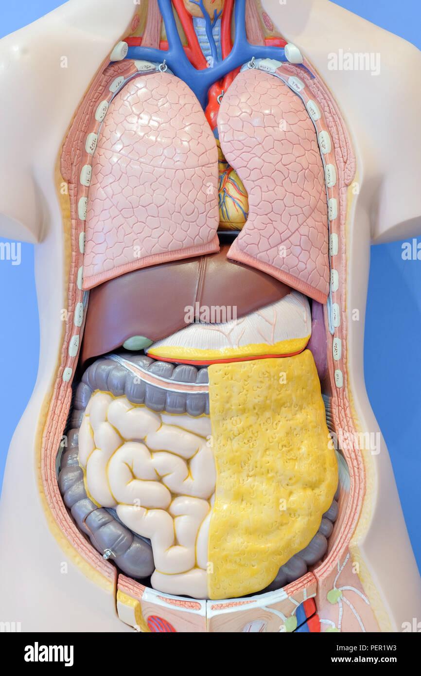 Anatomie Modell der inneren Organe des menschlichen Körpers für den ...
