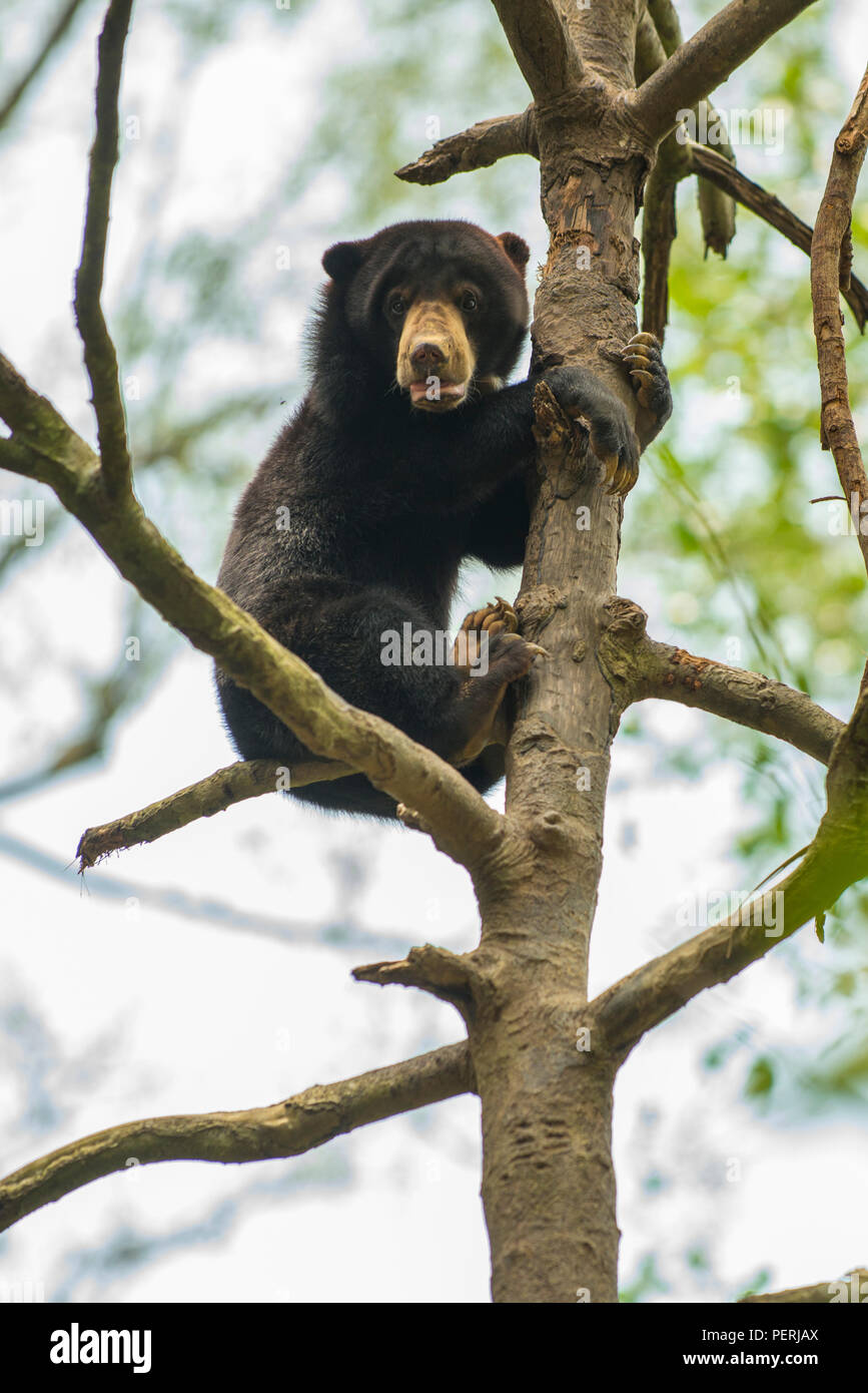 Bornesischen sun bear (Helarctos malayanus) an der Spitze eines Baumes, den Blick in die Kamera. Bornesischen SunBear Conservation Centre, Sepilok, Sabah, Malaysia Stockfoto