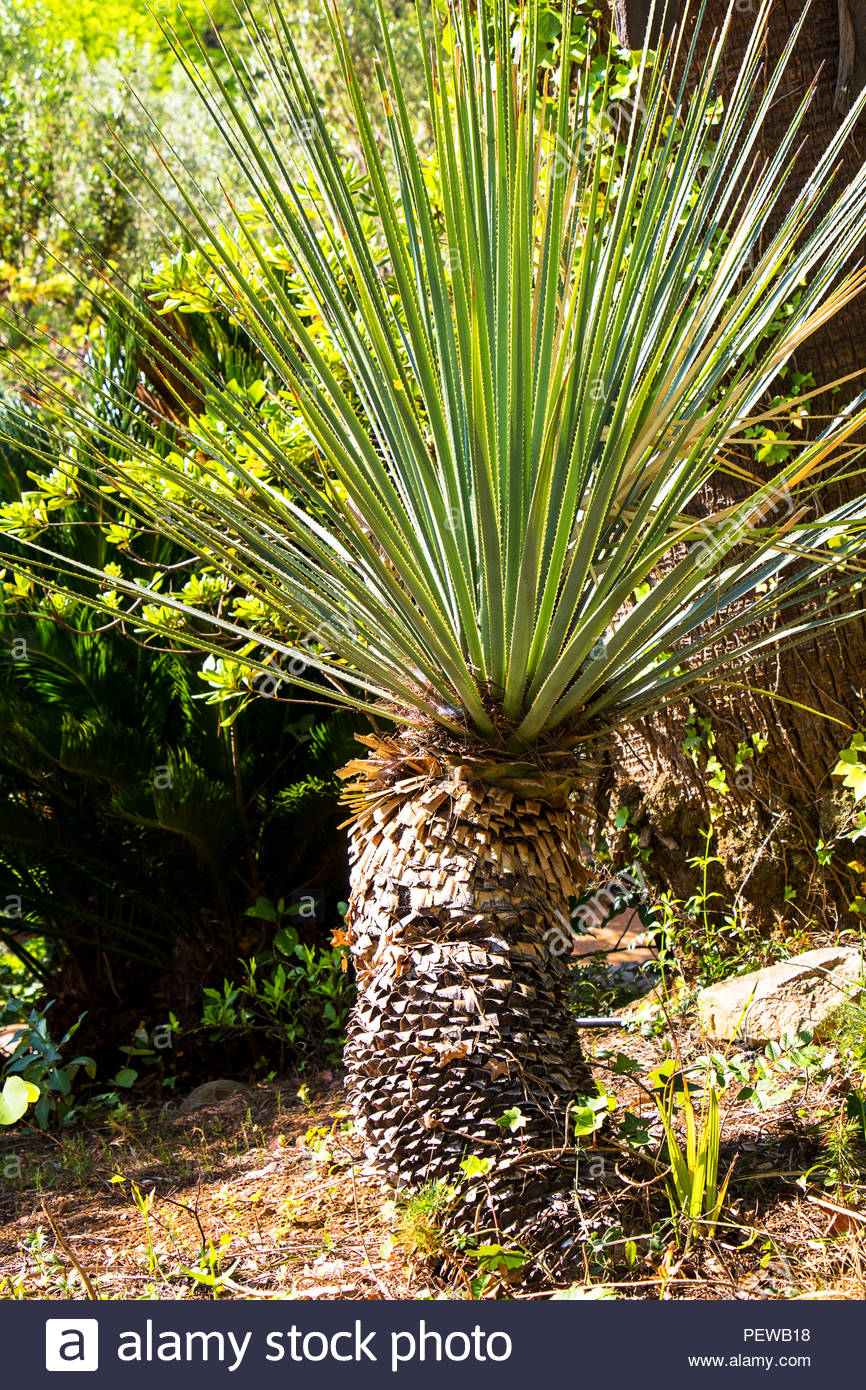Yucca linearifolia, Linear-leaf Yucca, Asparagaceae, Yucca linearis Stockbild