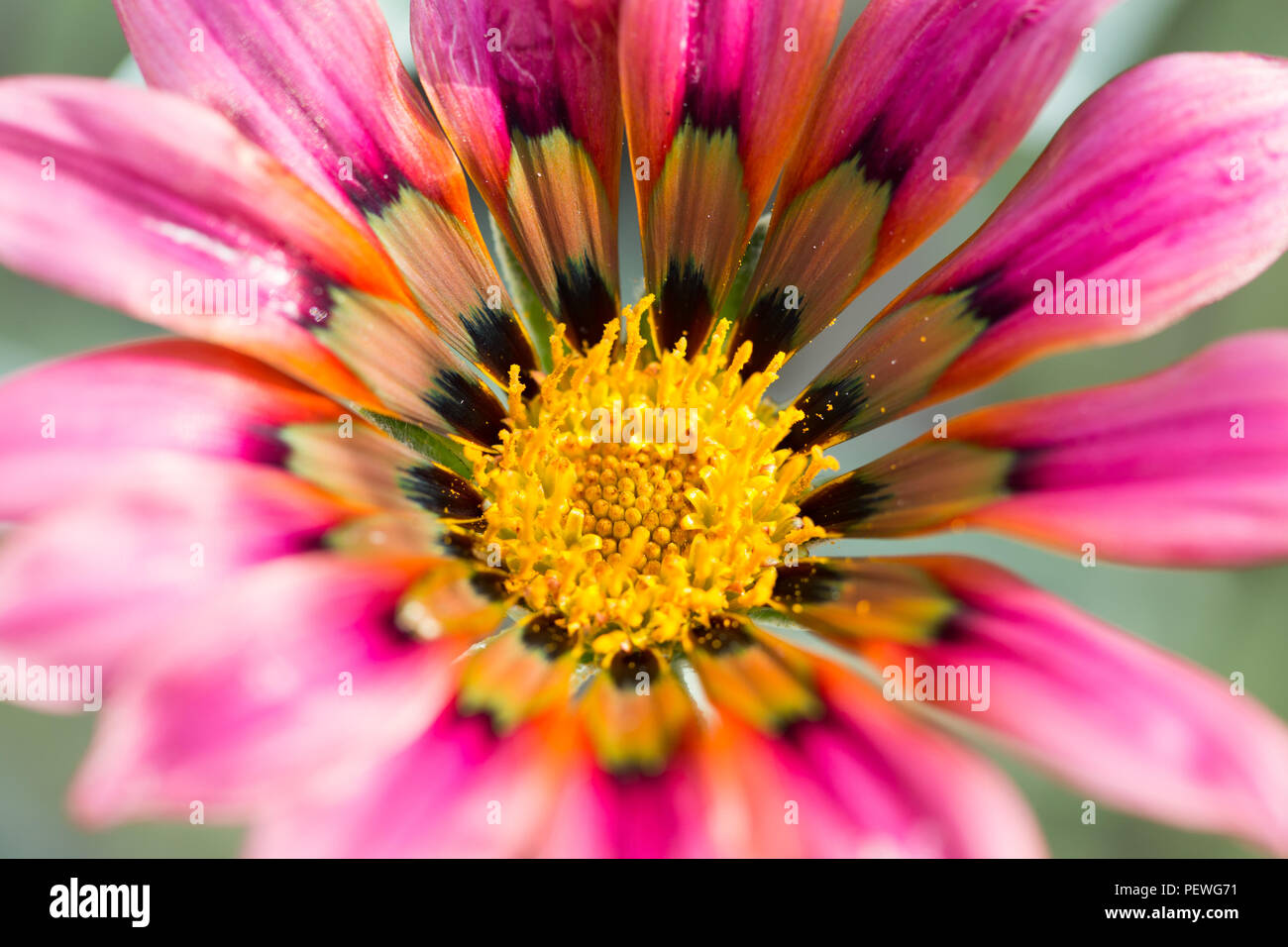 Gazania Talent Serie in voller Blüte. Stockbild