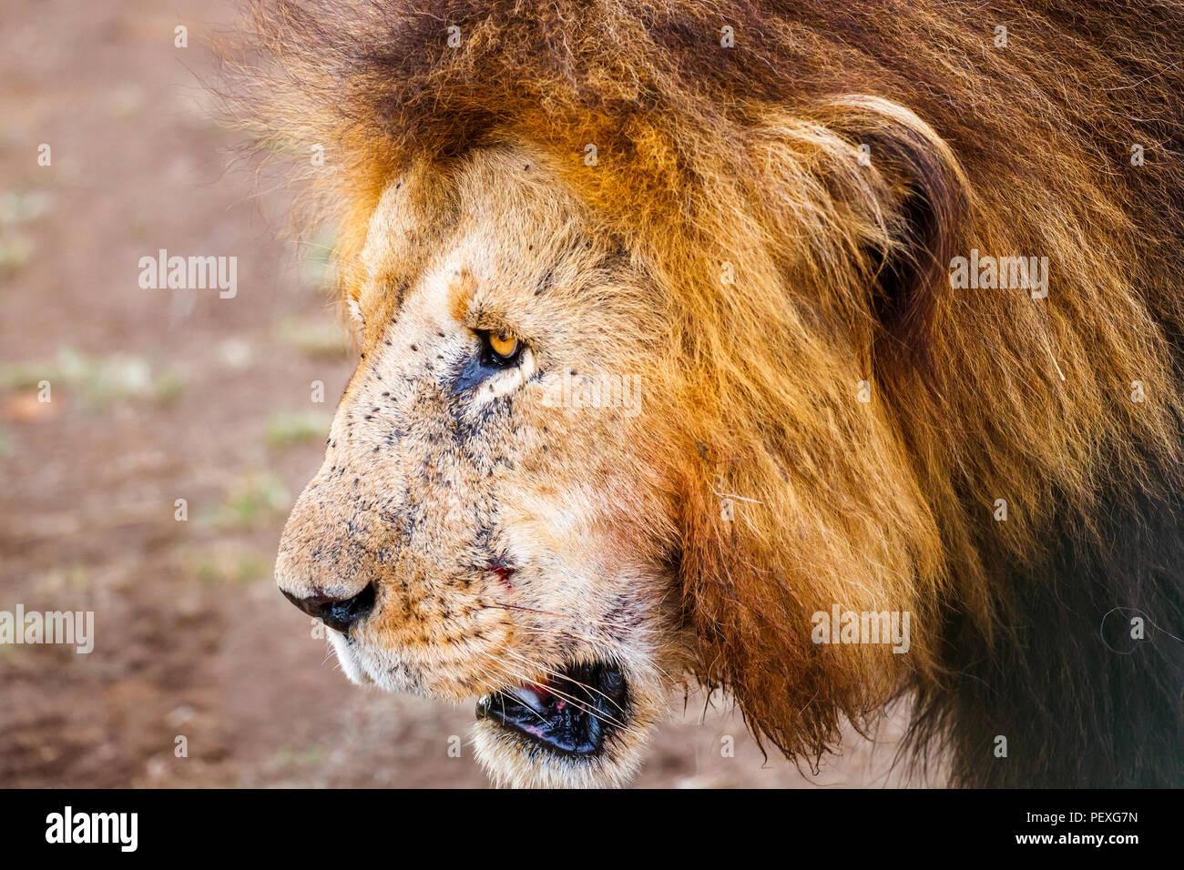Nahaufnahme der Kopf und Mähne eines erwachsenen männlichen Mara Löwe (Panthera leo) in Fliegen in der Masai Mara, Kenia abgedeckt Stockbild