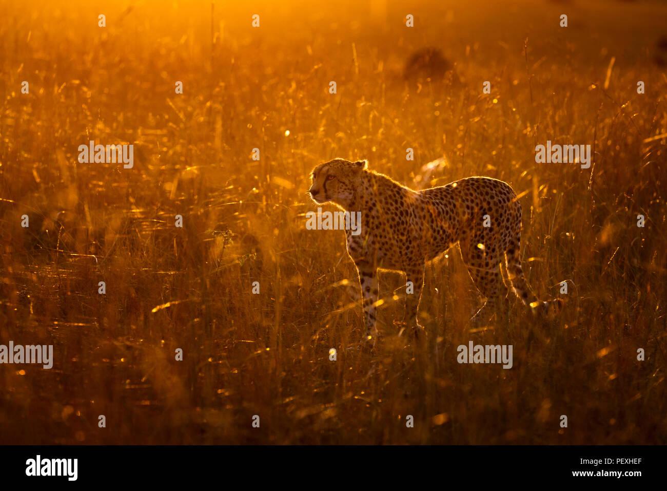 Nach weiblichen Geparden (Acinonyx jubatus) mit Hintergrundbeleuchtung von früh morgens Sonne steht, wachsam und aufmerksam im Grünland in der Masai Mara National Reserve, Kenia Stockfoto