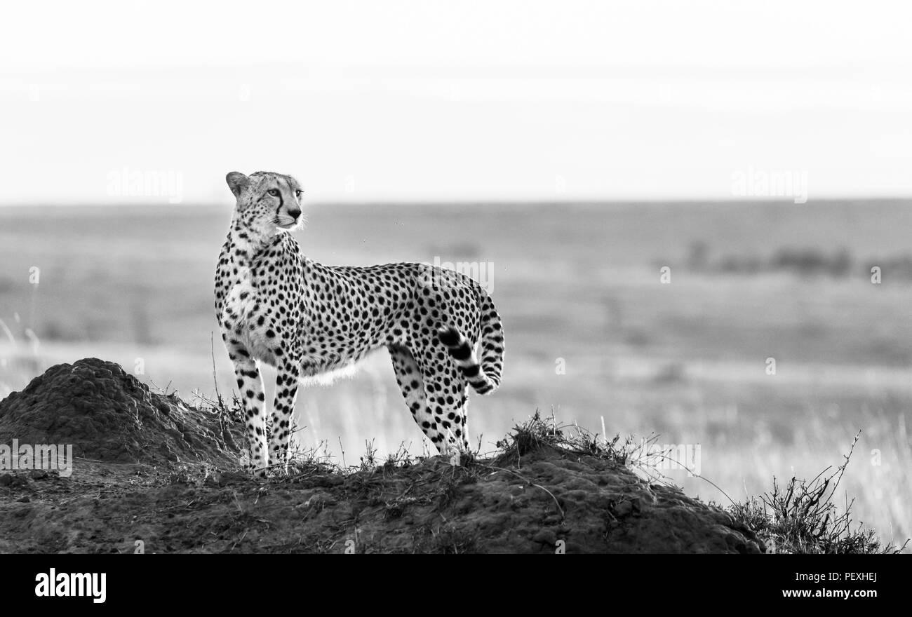 Nach weiblichen Geparden (Acinonyx jubatus) Gegenlicht der Sonne steht, wachsam und aufmerksam im Grünland, Masai Mara National Reserve, Kenia Stockbild