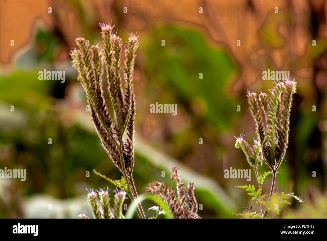 DE-Konzept die Natur: Die phacelia Stockbild