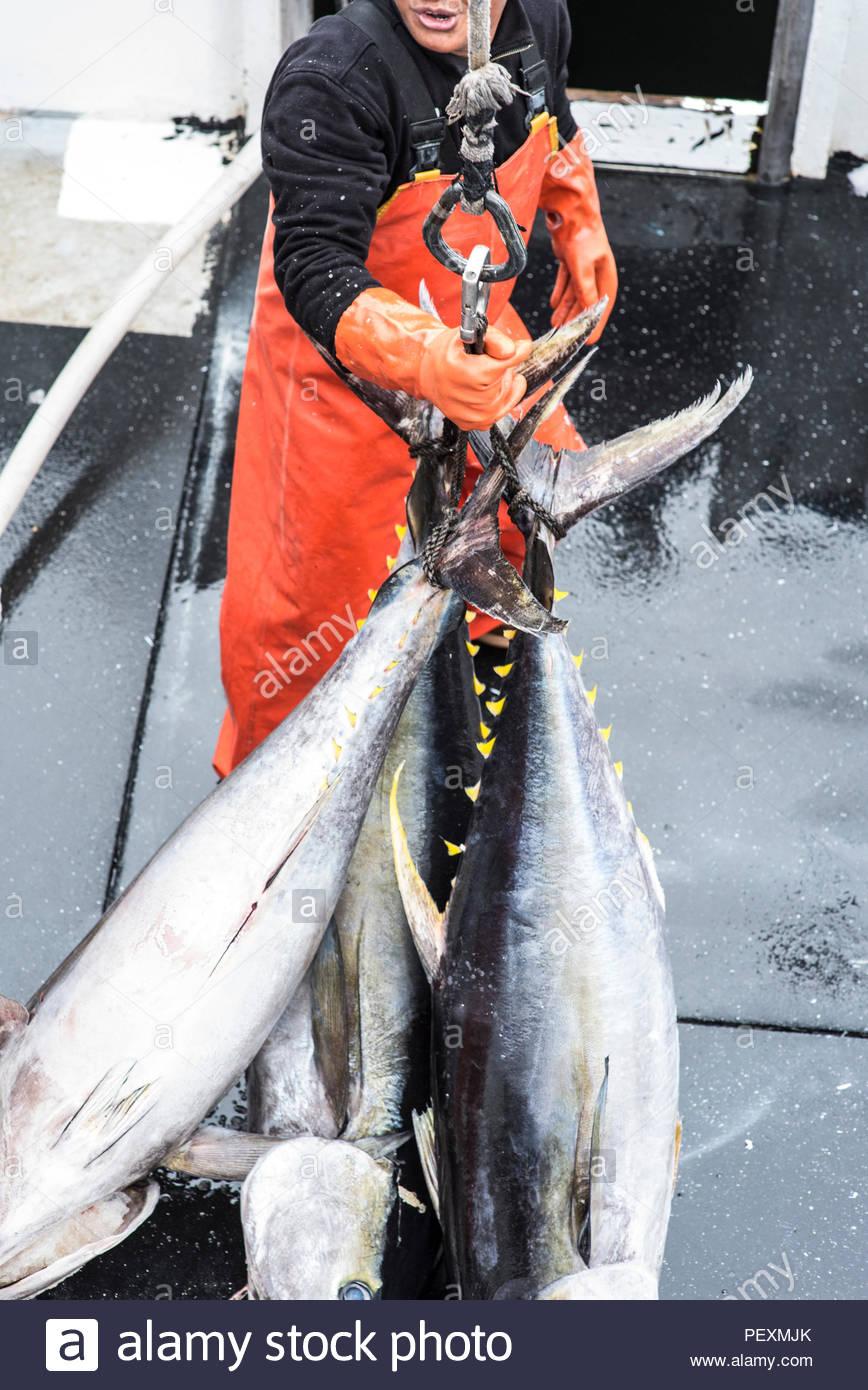 Matrose bewegte Gelbschwanz Fische auf Fischerboot, San Diego, Kalifornien, USA Stockbild