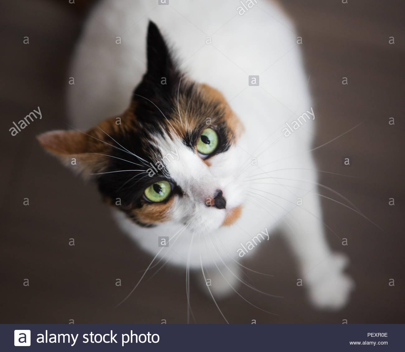 Close-up von oben Calico Katze mit weißen Körper, Ernst und grüne Augen Stockbild