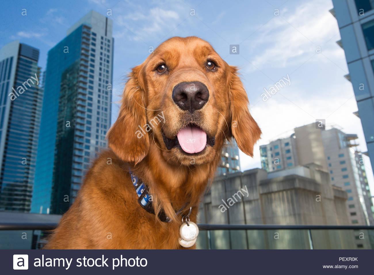 Close-up Portrait von Happy Golden Retriver mit hohen Gebäuden im Hintergrund Stockbild