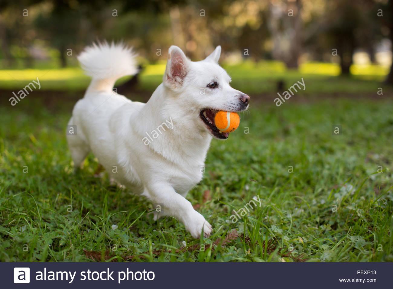Weiß Corgi Mix Hund laufen auf Gras, beim Tragen einer Orange Tennis Ball im Mund Stockbild