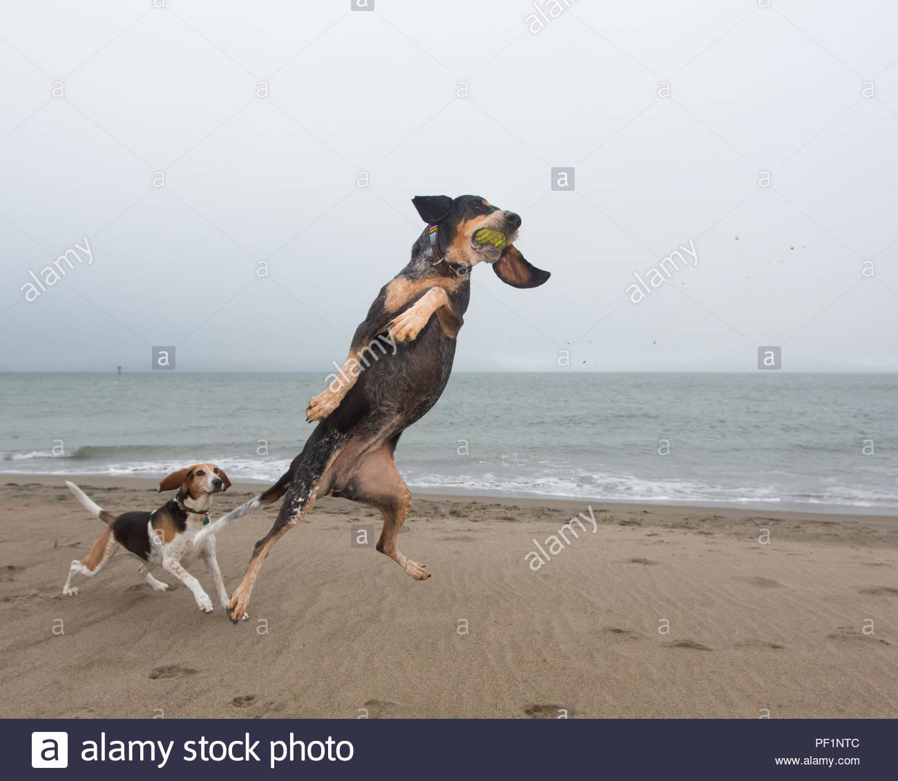 Bluetick hound einen Ball in der Luft zu fangen, während ein anderer Hund Uhren im Hintergrund Stockbild