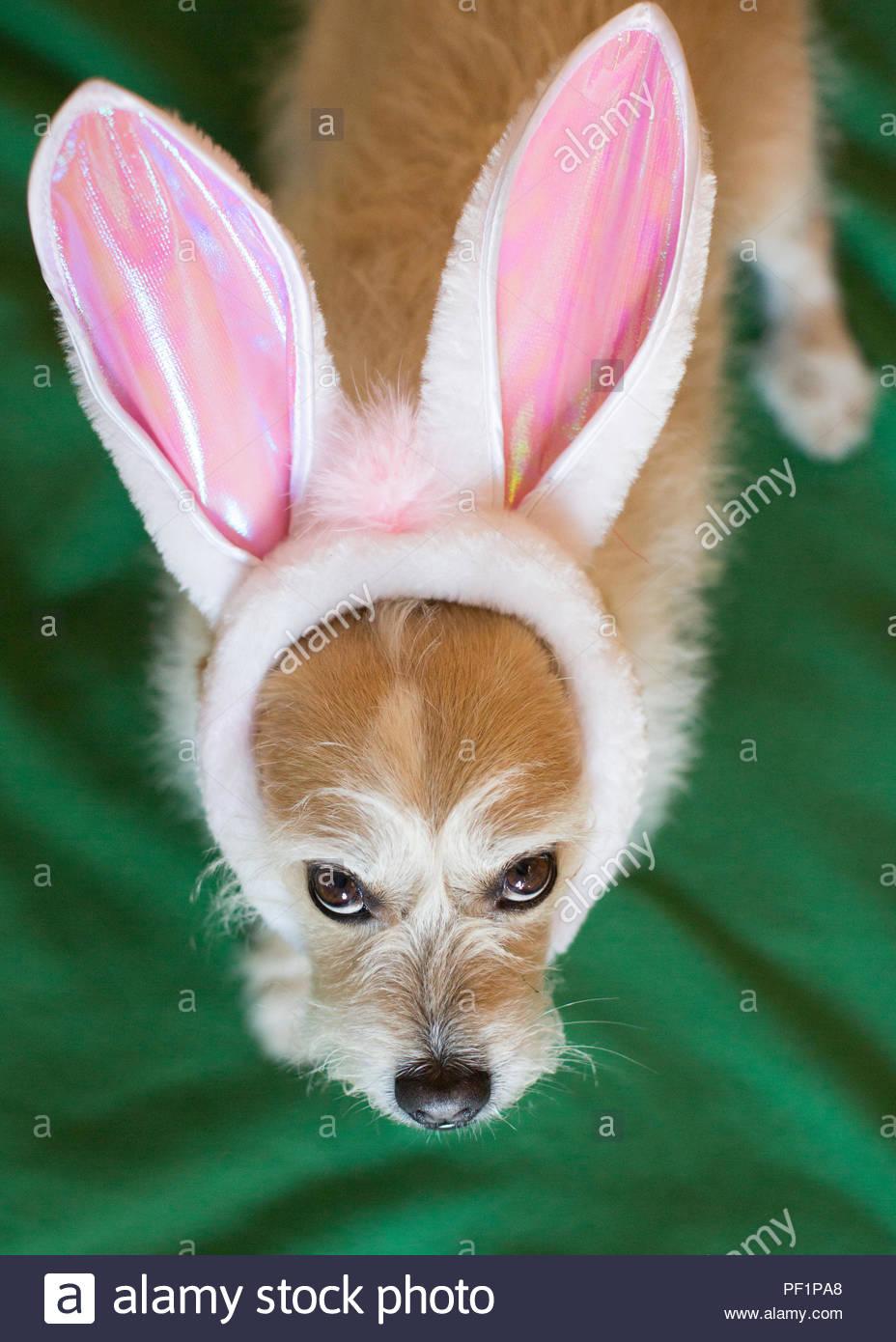 Grumpy Terrier Hund in Osterhasen Ohren Kostüm unglücklich bis auf Kamera Stockbild