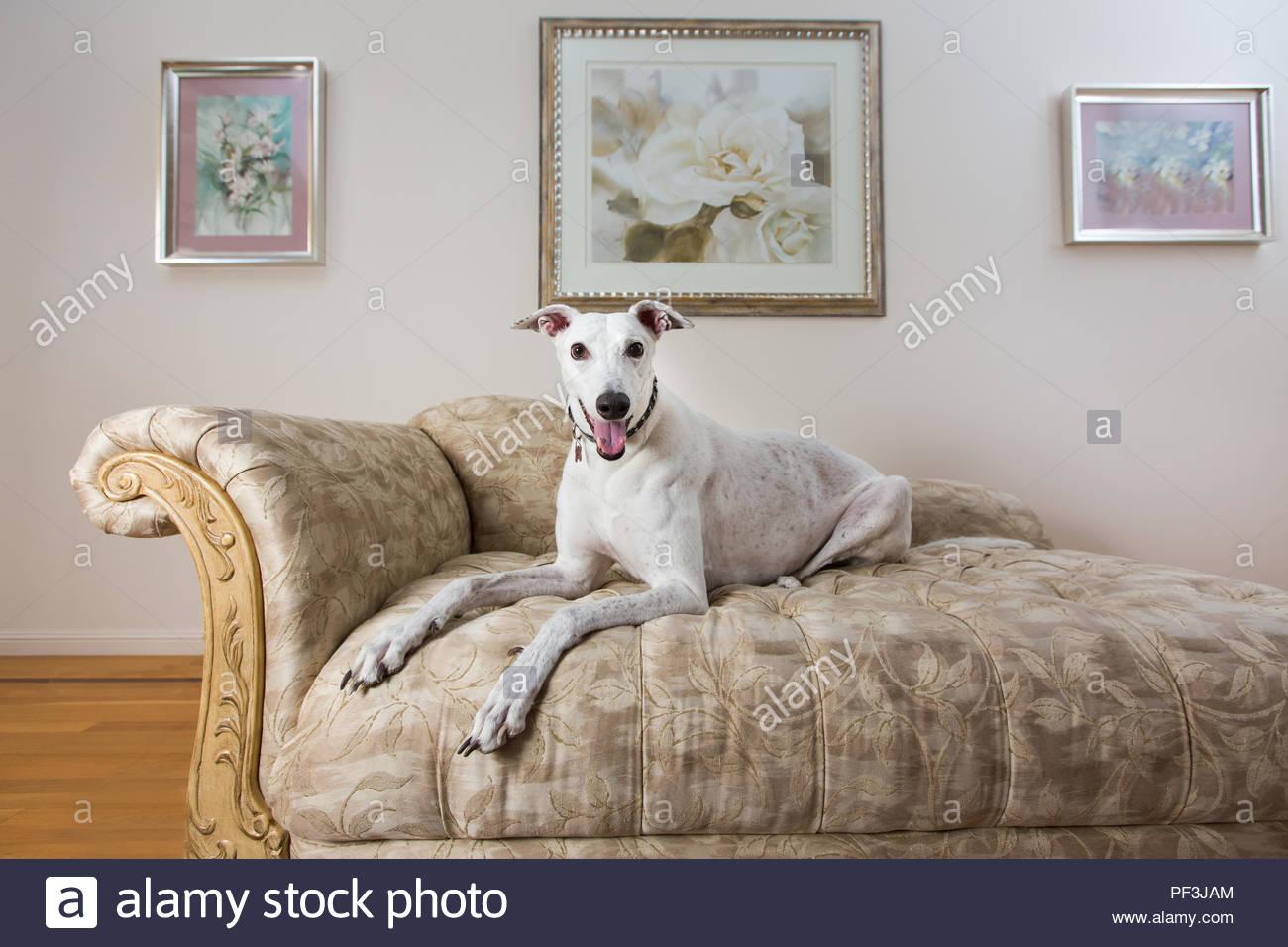 Greyhound Hund liegend auf dem Sofa in drei Viertel Posieren vor der Malerei Stockbild