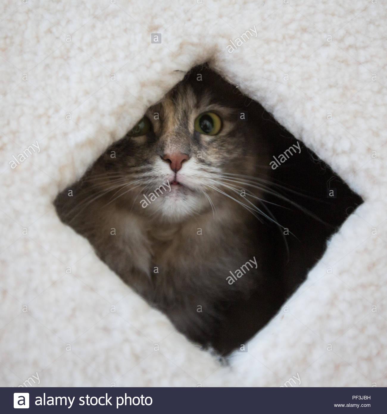 Graue und weiße Katze und innen cat Condo suchen Stockbild