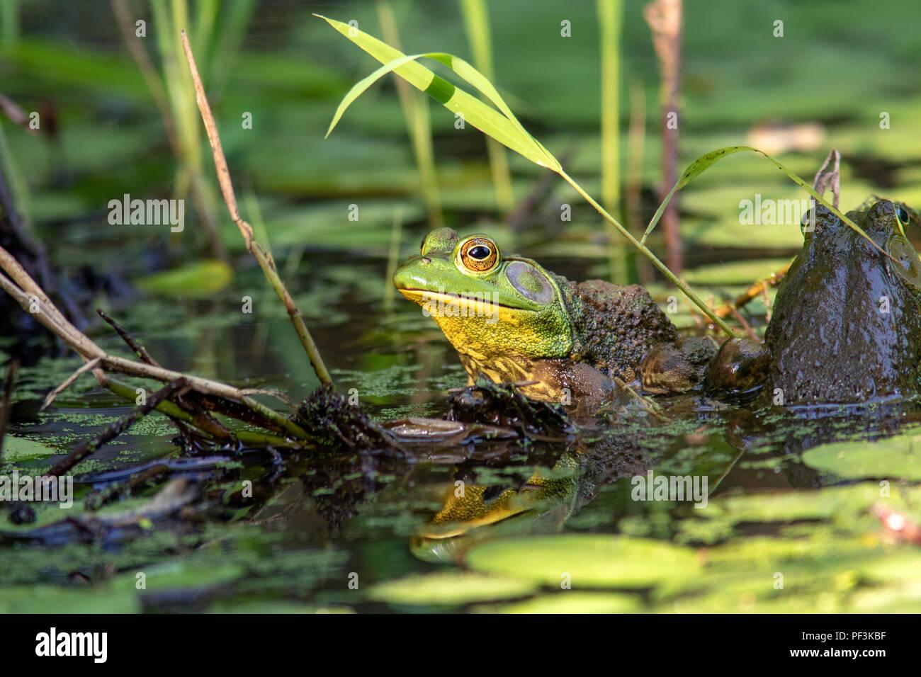 Amerikanische Ochsenfrosch (Lithobates catesbeianus) - Indian Point Trail - der Garten der Götter, Shawnee National Forest, Illinois, USA Stockbild