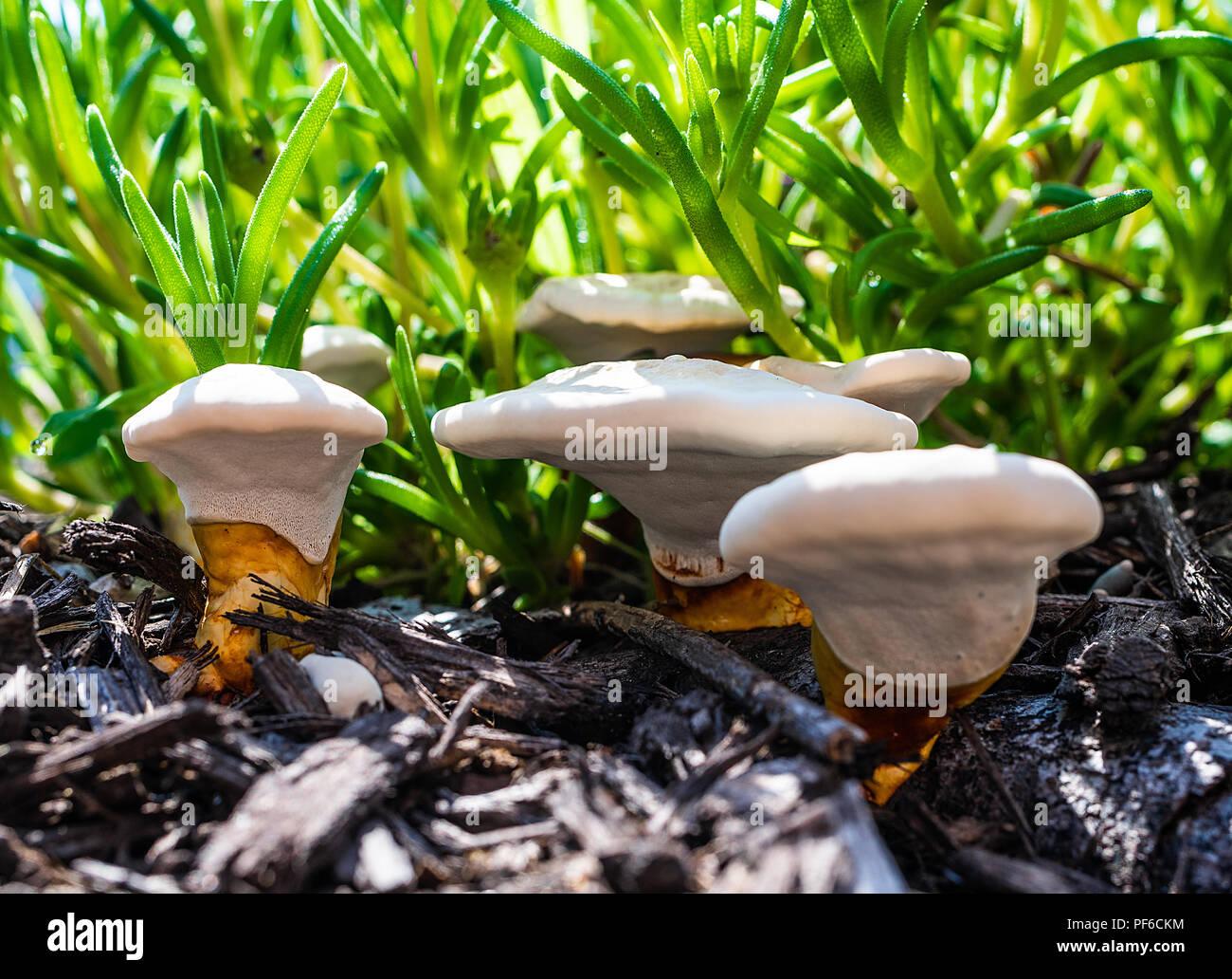 Weiße Pilze Patch Stockfotos Weiße Pilze Patch Bilder Alamy
