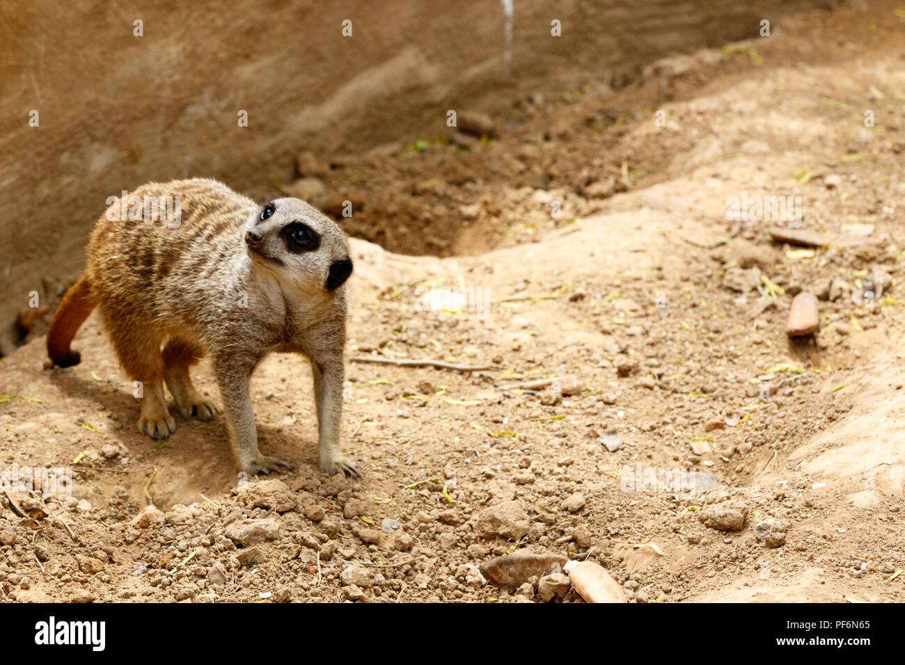 Erdmännchen stehend in den Sand und Suchen auf der Seite Stockbild