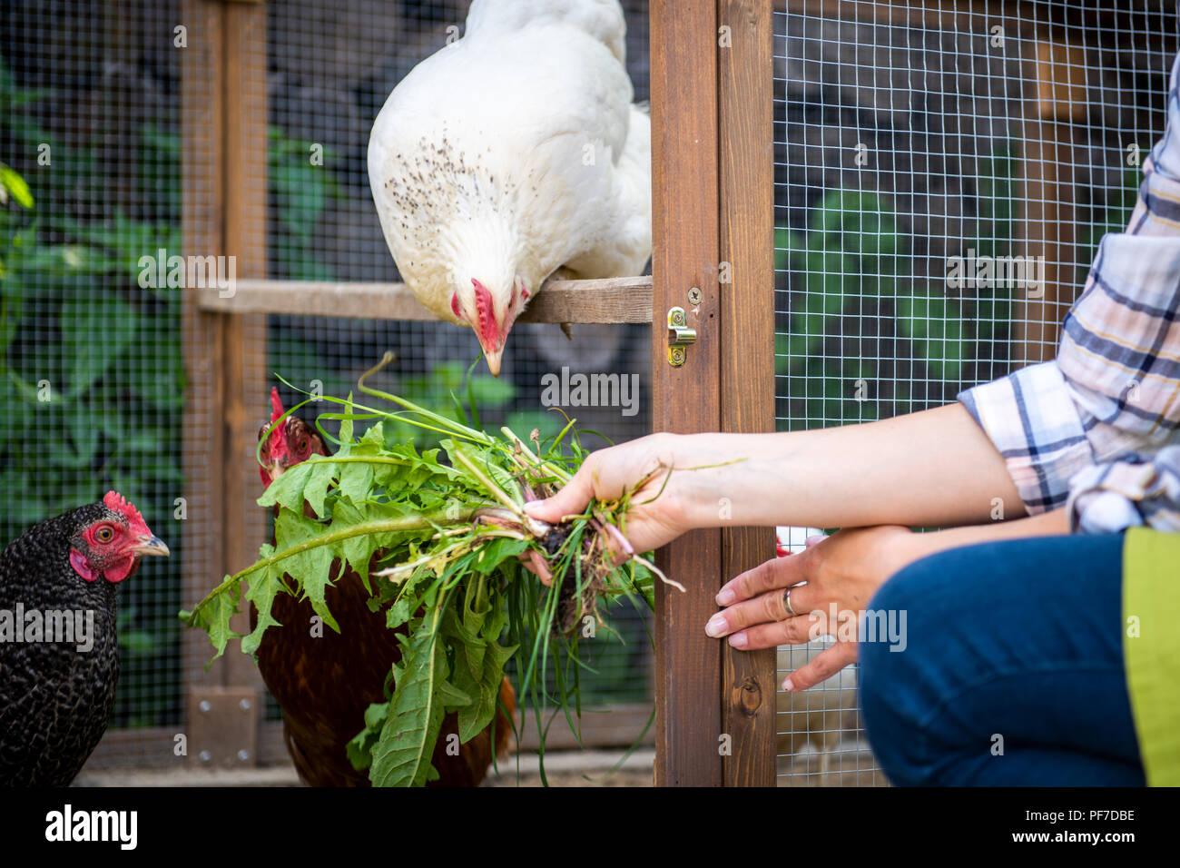 Nicht erkennbare Frau ihre freie Hühner füttern. Ei Legehennen und junge Frau Bauer. Gesunde organische Essen Lifestyle. Kleine nachhaltige weit Stockbild