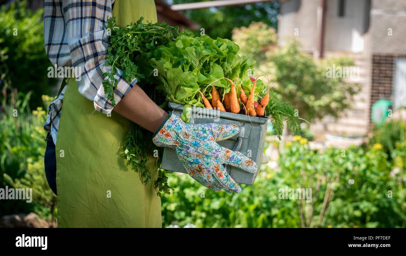 Nicht erkennbare Frau Bauer Holding Kiste voller frisch geerntete Gemüse in Ihrem Garten. Homegrown bio produzieren Konzept. Nachhaltiges Leben. Stockbild