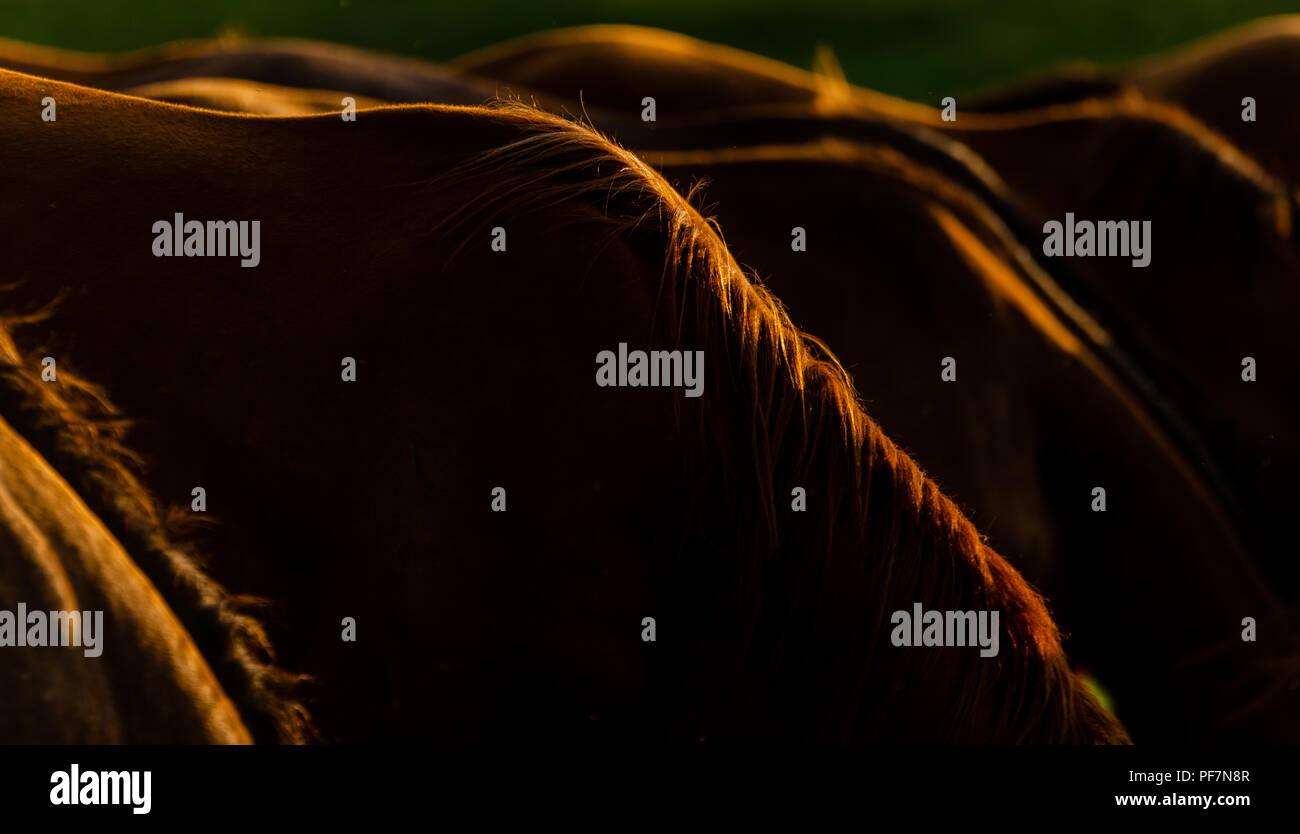 Junge Colte genießen Sie die Abendsonne in ihrer London Ontario Weide. Stockbild