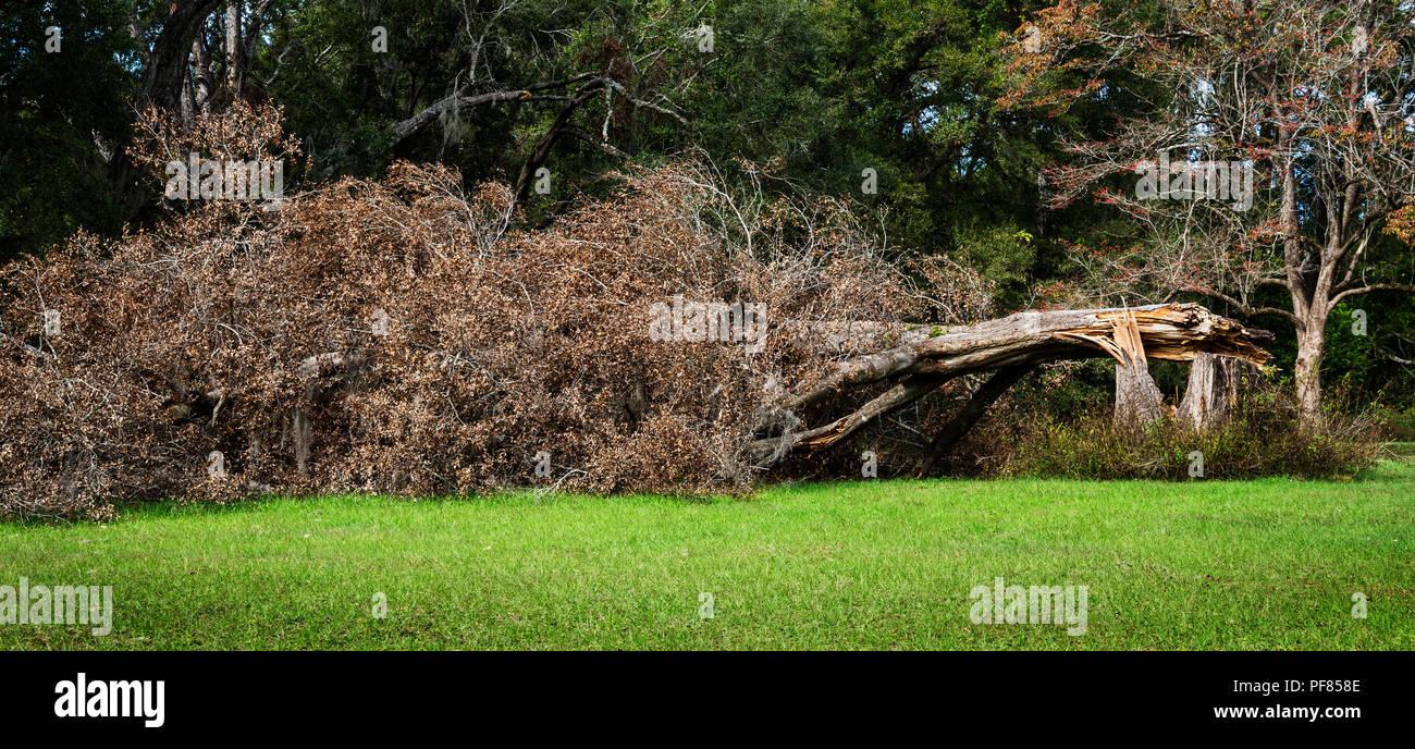 Große Eiche niedergeworfene während des Hurrikans Irma in North Central Florida. Stockbild