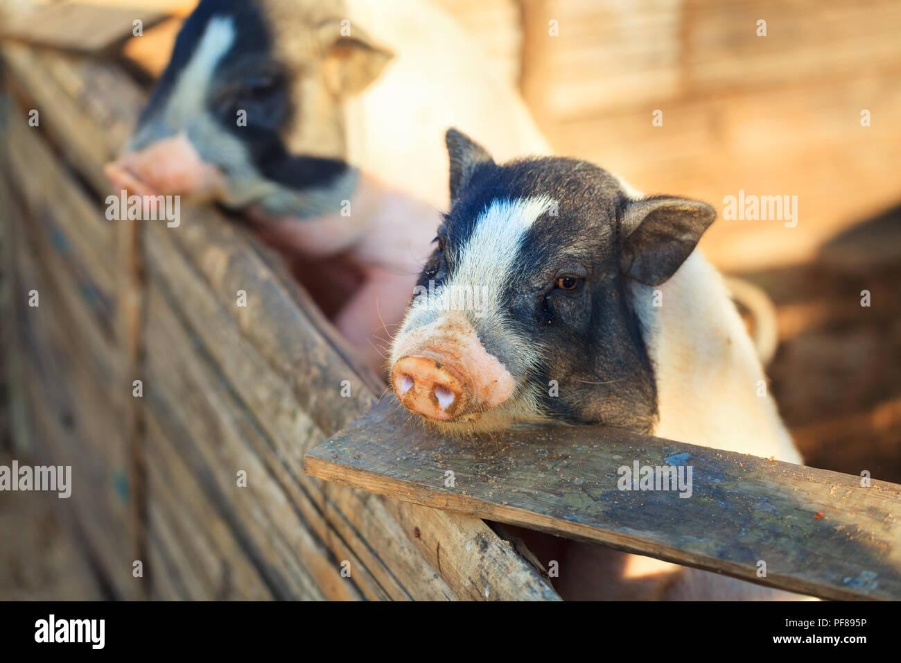 Schwein in der Farm Stockbild