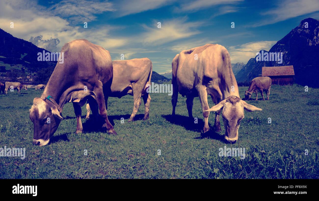 Europa Schweiz Sarganser Land Wangs Gonzen - morgens grasen Kühe auf der Weide ein einem schönen Sommertag in der Schweiz Stockbild
