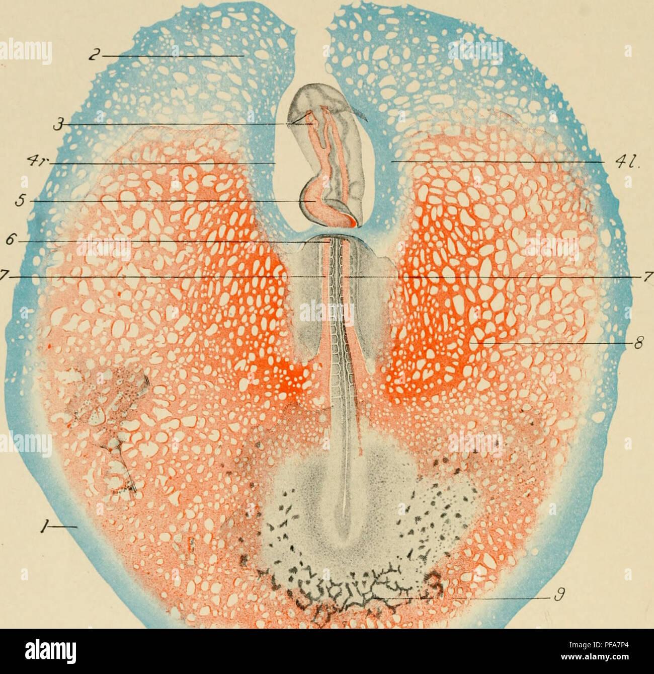 die entwicklung der k ken eine einf hrung in die embryologie embryologie h hner embryonen. Black Bedroom Furniture Sets. Home Design Ideas