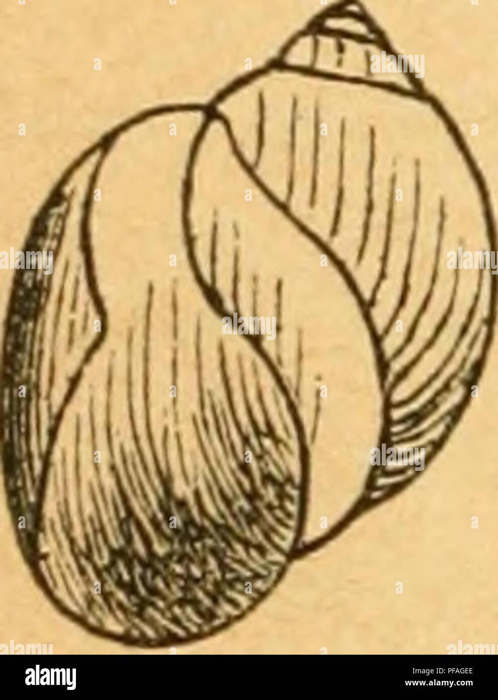 . Deutsche Ausflüge - Mollusken - Fauna. Muscheln. 400 Schwein. 262. 1. Var. Bulla, Müller, verm.bist. IL S. 167. Physa, Fönt. Var. Ss iuflata, MBM. Tehen., bist. Moll. Frankreich II S. 451 t. 32 Abb. 13. ^---- div. 1. - Jefifreys Brit. Conch. I. S. 98. - Hulla, Mörch, Syn. Moll. Daniae s. 45. - Westerlunä, Fauna Moll. Suec. S. 354. 10412: breit-eiförmig, Umgänge rascher zanehmend, der letzte mehr erweitert, nach oben gegen die Naht etwas abgeflacht und schnelle win-kelig umgebogen; Mündung weiter, mit sehr breitem Spindelumschlag. Länge 12 mm, Breite 8 mm. Verbreitung. Nur im nördlichen Theile sind Stockbild