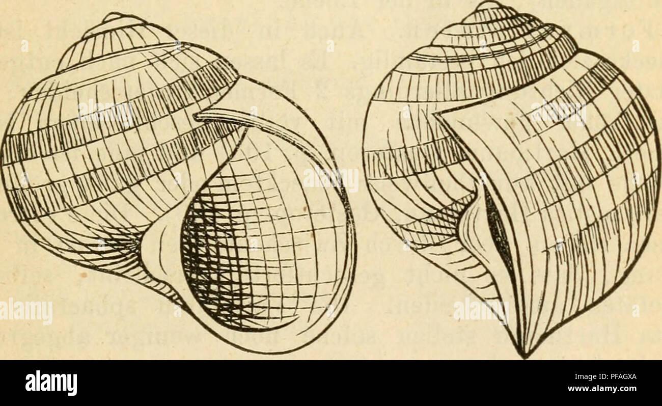 Deutsche Ausflüge - Mollusken - Fauna. Muscheln. 169 1. Hellcodonta ...