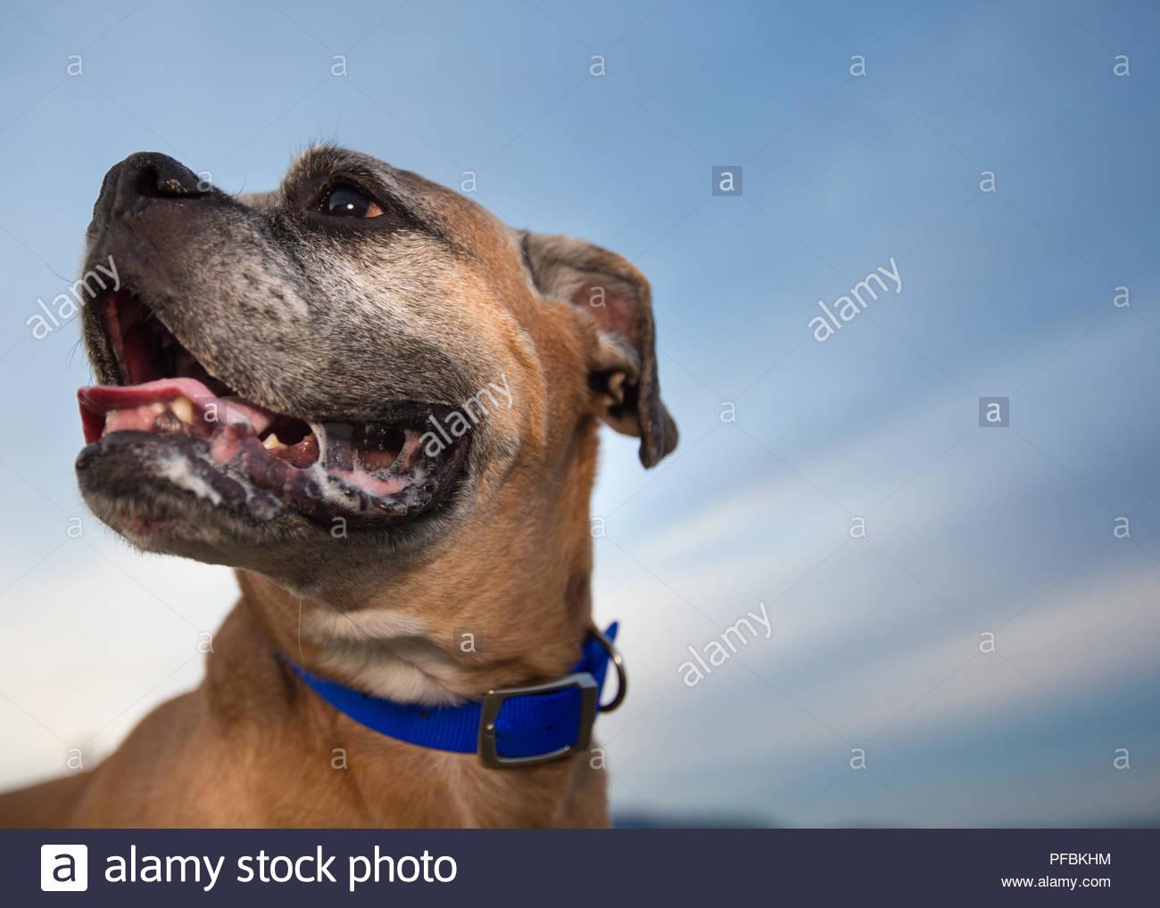 Nahaufnahme von Braun Senior Boxer Hund lächelnd vor einem strahlend blauen Himmel Stockbild