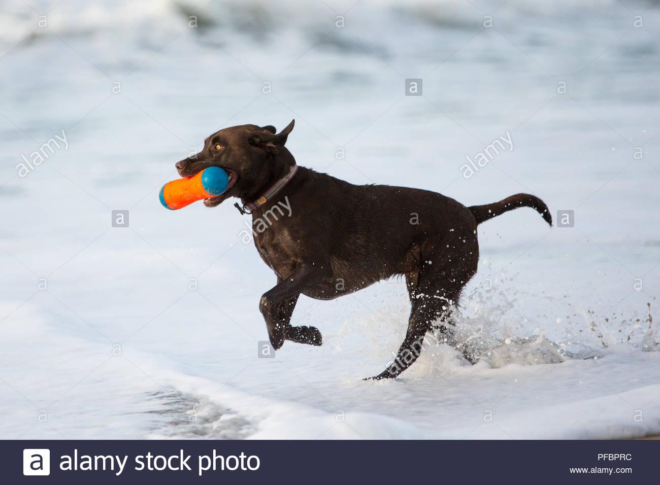 Brauner Labrador Retriever laufen durch die surfline mit einem orangefarbenen Spielzeug in den Mund Stockbild