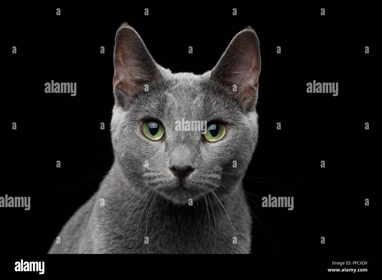 Close-up Portrait von Russisch Blau Katze mit grünen Augen