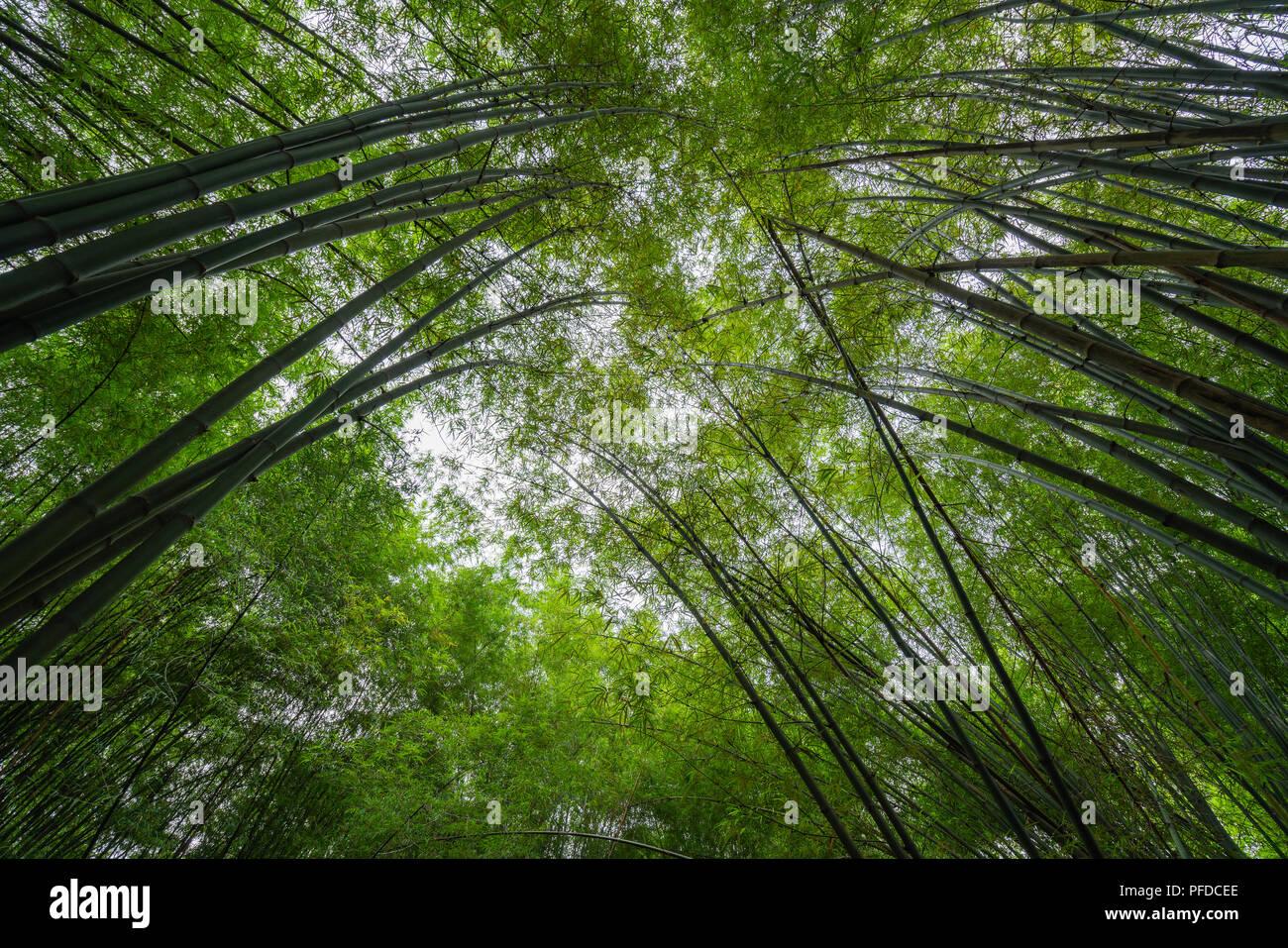 Konvergenz der oberen Enden der Gruppe von grünem Bambus Stockbild