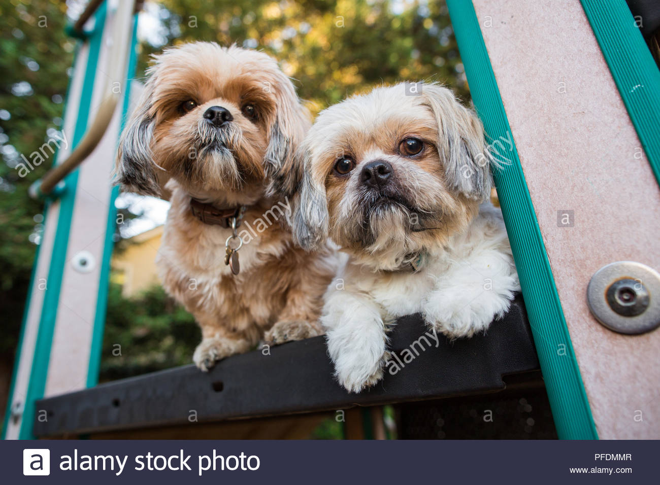Zwei schwere Shih Tzu hunde in Childs Spielplatz Plattform Stockbild