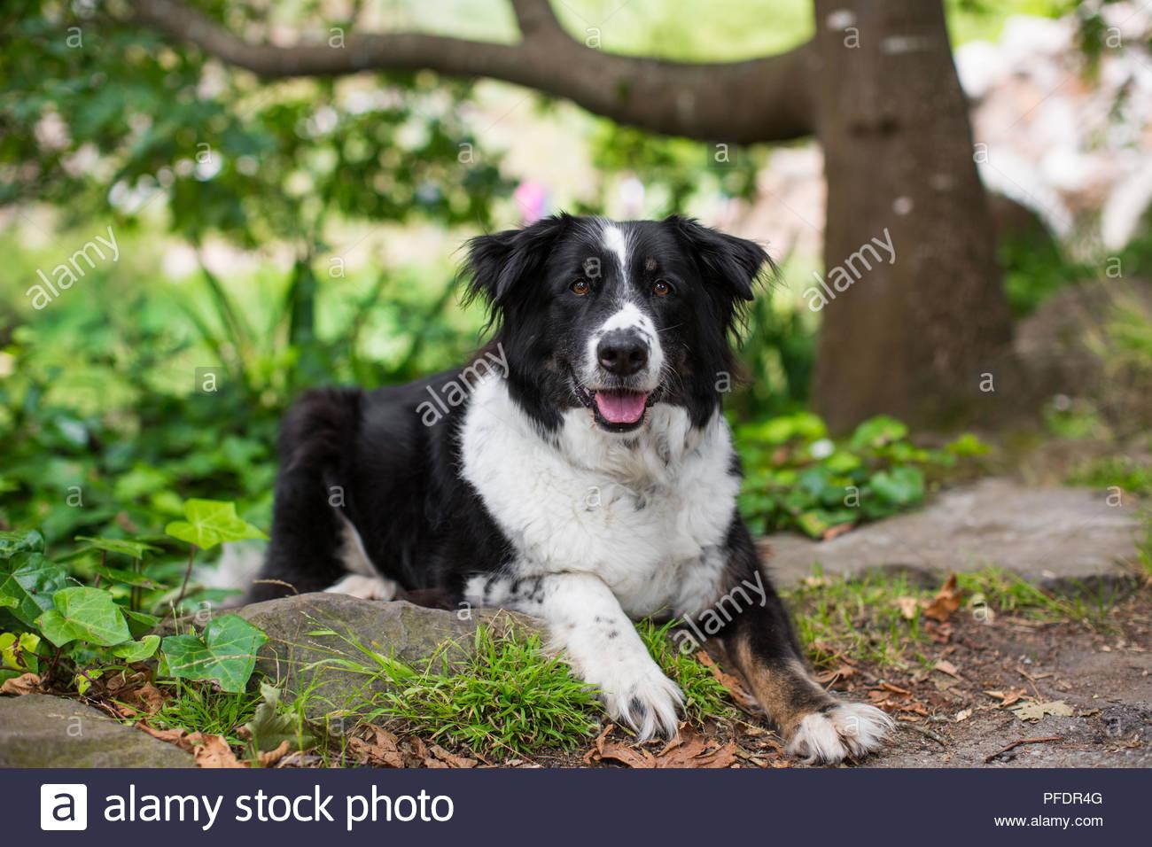 Schwarze Und Weiße Border Collie Mix Hund Liegend Auf Gras Im Park