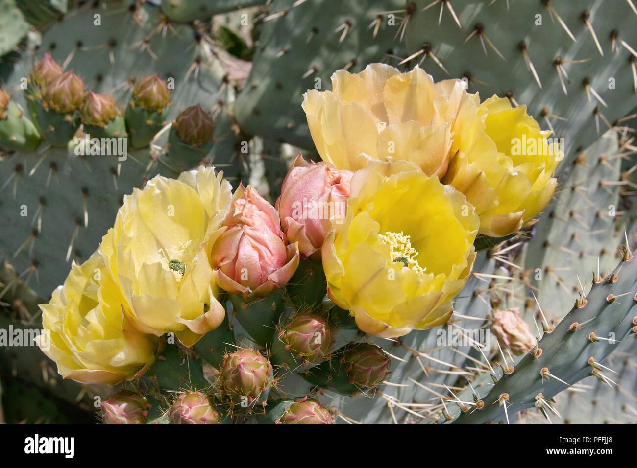 Feigenkaktus in voller Blüte, Opuntia ficus Indica, Cactaceae. Stockbild