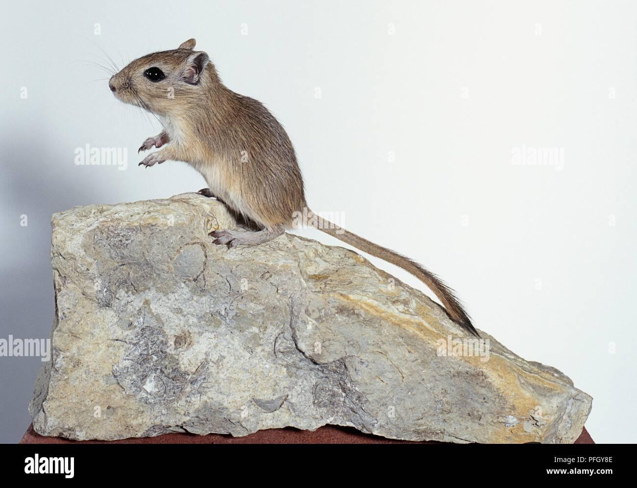 Mongolische Wüstenrennmaus (Meriones unguiculatus) steht auf einem Felsen, Seitenansicht Stockbild
