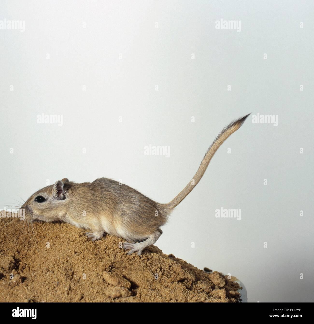 Mongolische Wüstenrennmaus (Meriones unguiculatus), Seitenansicht Stockbild