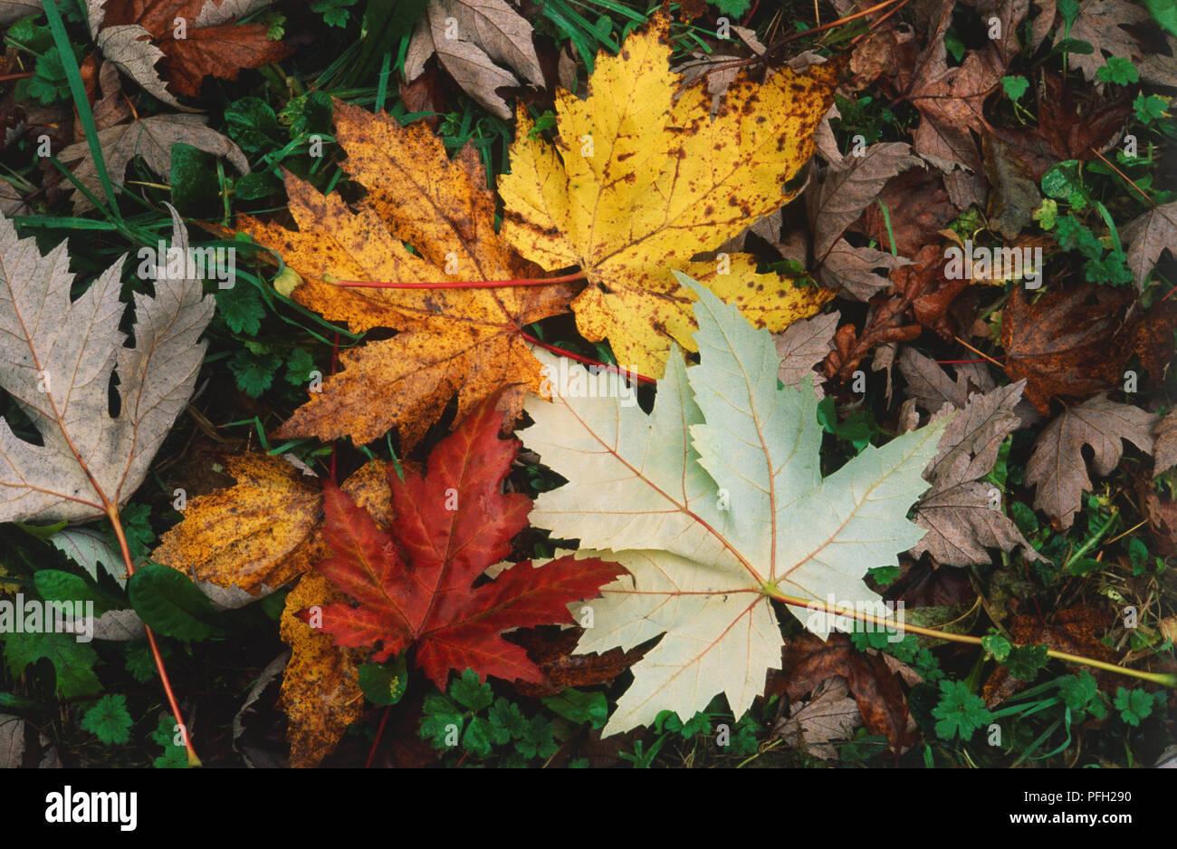 Acer saccharinum, Laub vom Baum auf den Boden. Blätter sind gelappt und in den Farben rot und gelb und mit einer umgedreht mit einem silbrig-weiße Unterseite Stockfoto