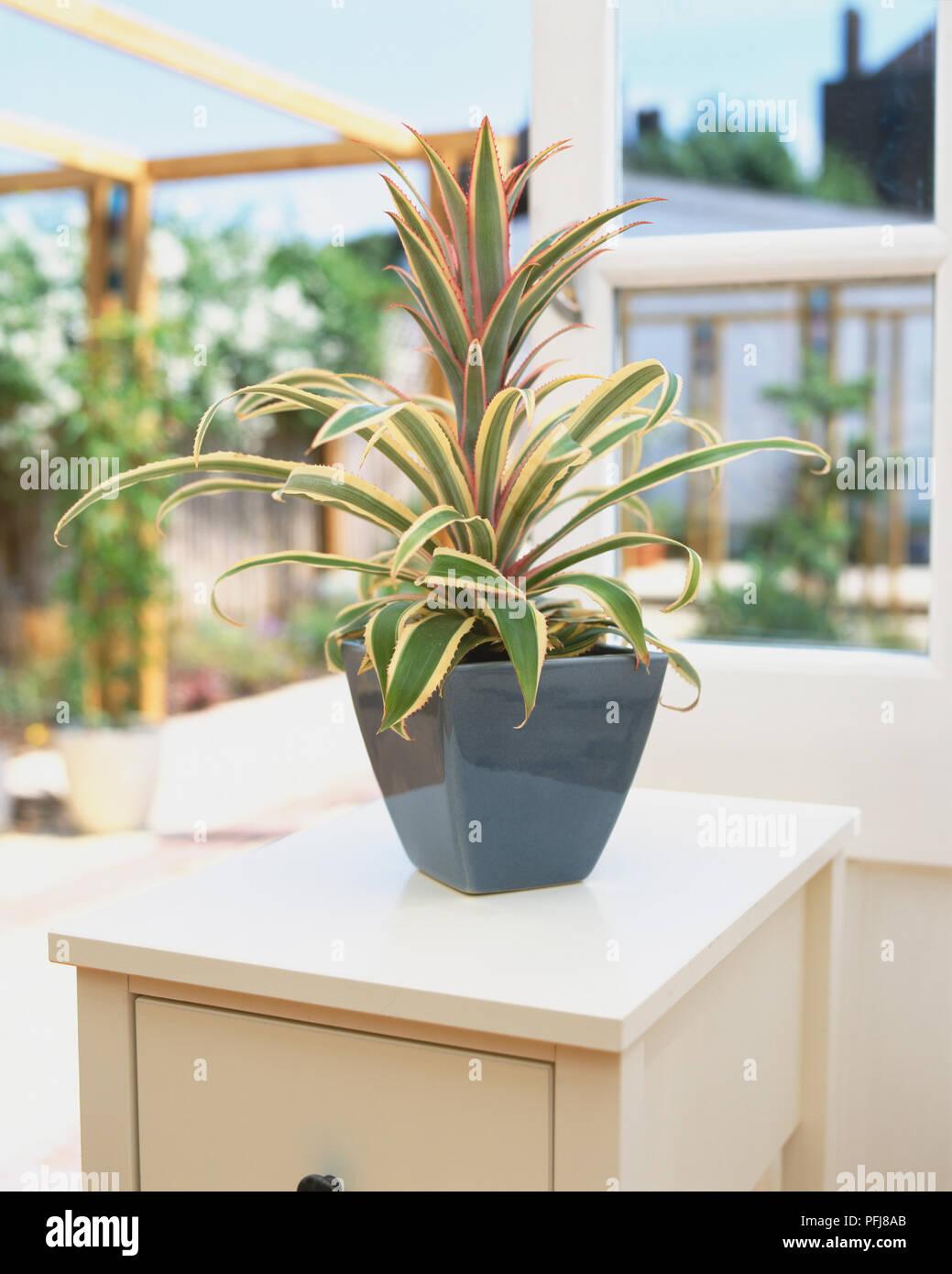 Ananas Comosus Var Variegatus Ananas Pflanze In Blau Keramik Topf