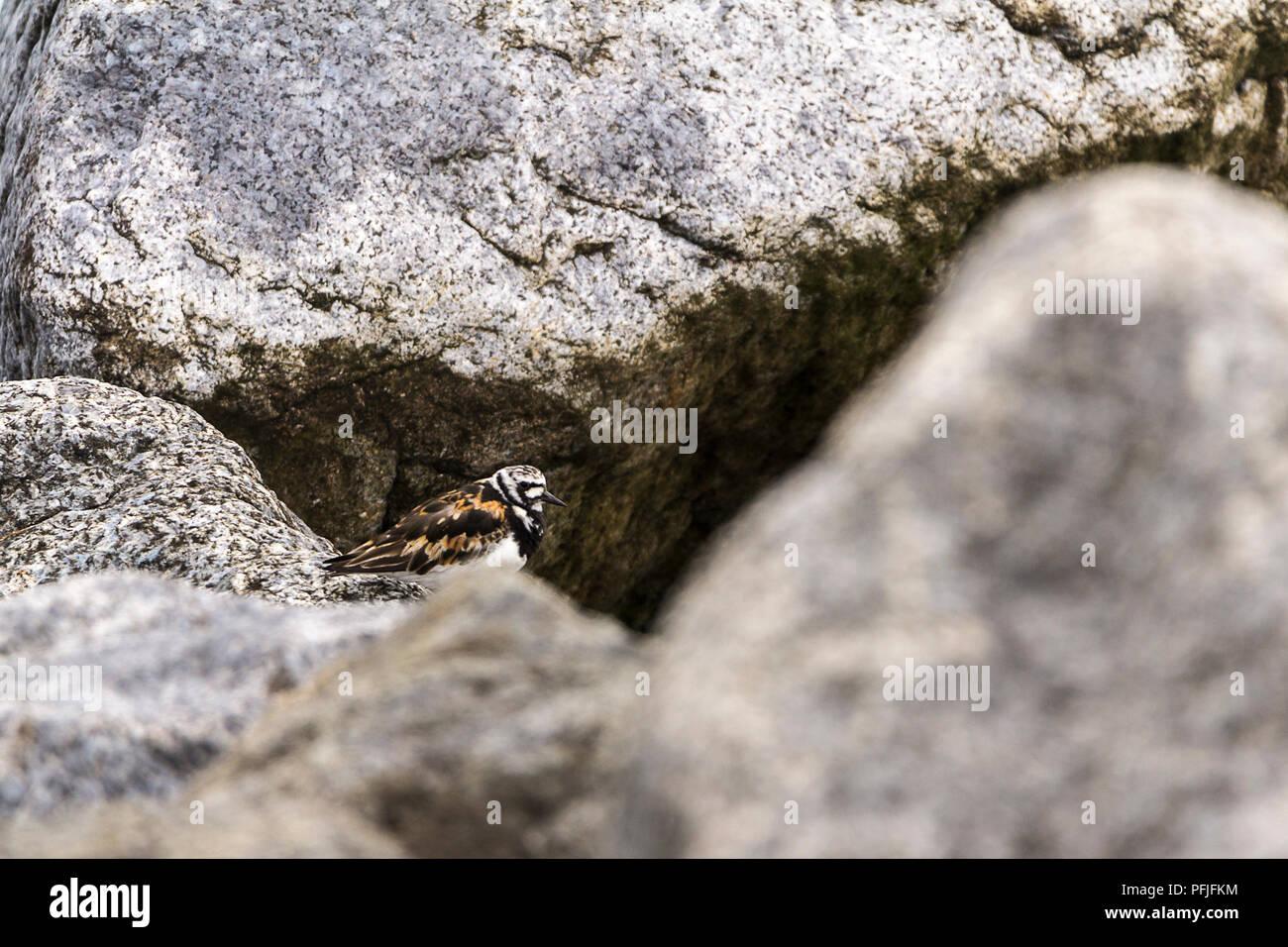 Turnstone (Arenaria interpres) Besucher der britischen Küste auf Felsen auf der Buche in Shoreham vom Meer aus Großbritannien. Orange Braun zurück schwarze und weisse Abzeichen an Kopf Stockbild