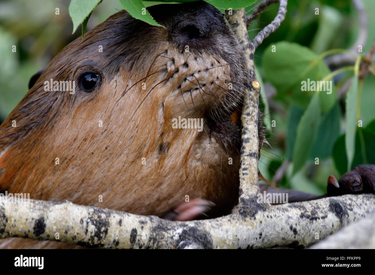 """Eine Nahaufnahme Bild eines wilden Biber """"Castor canadenis' Gesicht wie er ist, einen Baum zu essen zu schneiden Stockbild"""