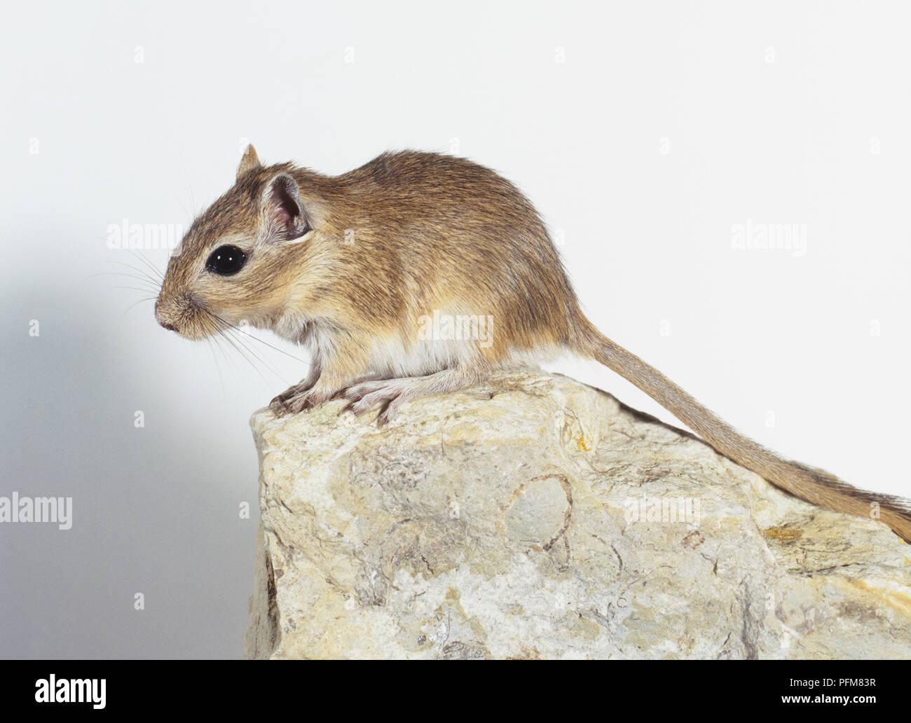 Mongolische Wüstenrennmaus (Meriones unguiculatus) auf einem Stein saß Stockfoto