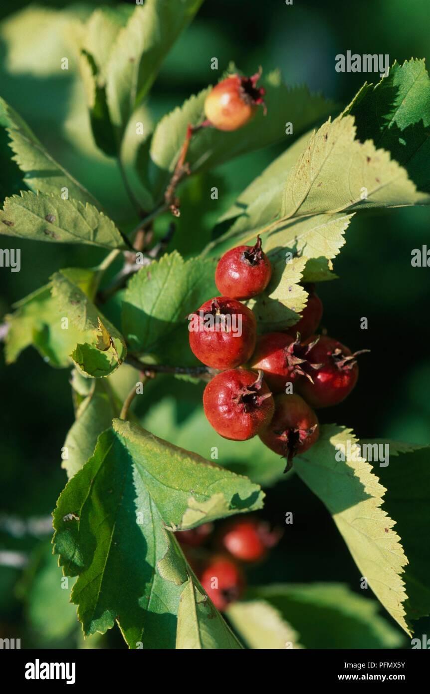 Crataegus (Weißdorn) Fireberry chrysocarpa mit roten Früchten und grünen Blättern Stockfoto