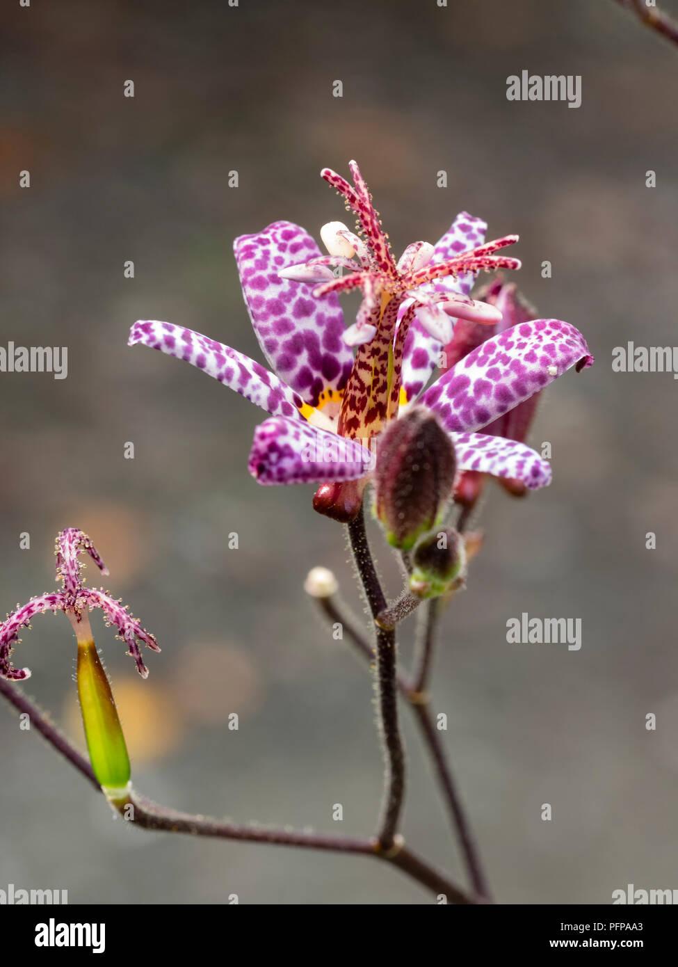 Tricyrtis Formosana Stockfotos & Tricyrtis Formosana Bilder - Alamy