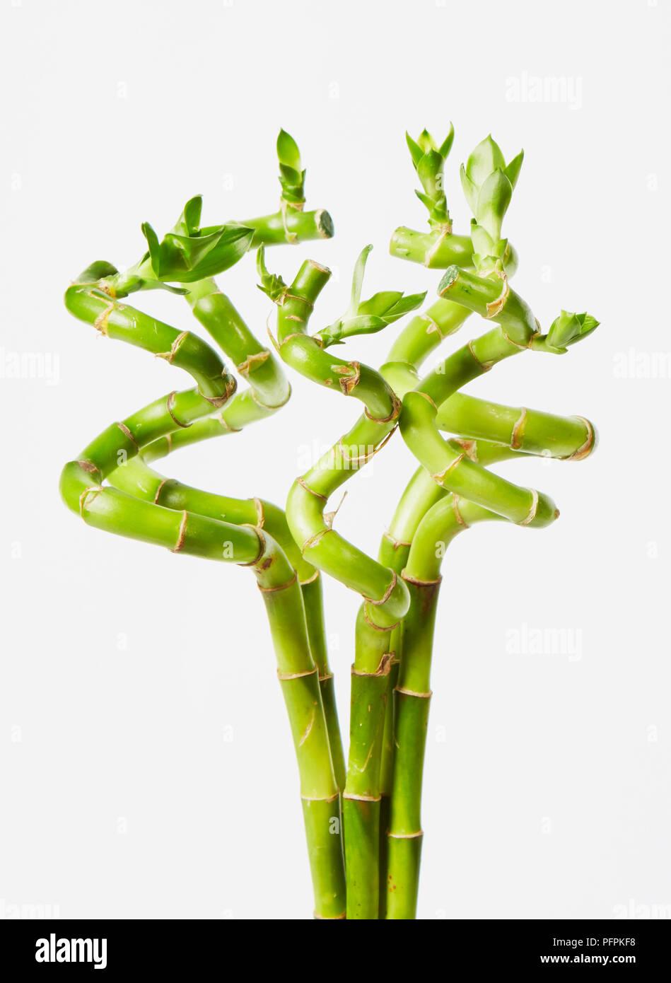 Bambus Pflanze Stockfoto Bild 216242524 Alamy