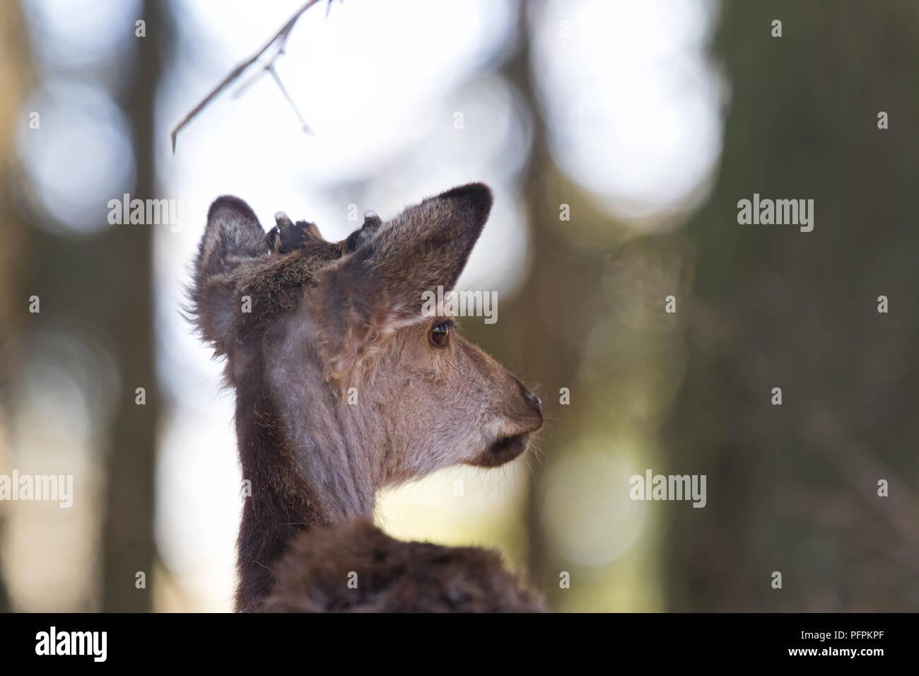 Rotwild, Cervus elaphus, Wald in der Nähe der belgischen Grenze Kopf Bild von Alert männliche Hirsche im Wald Stockbild