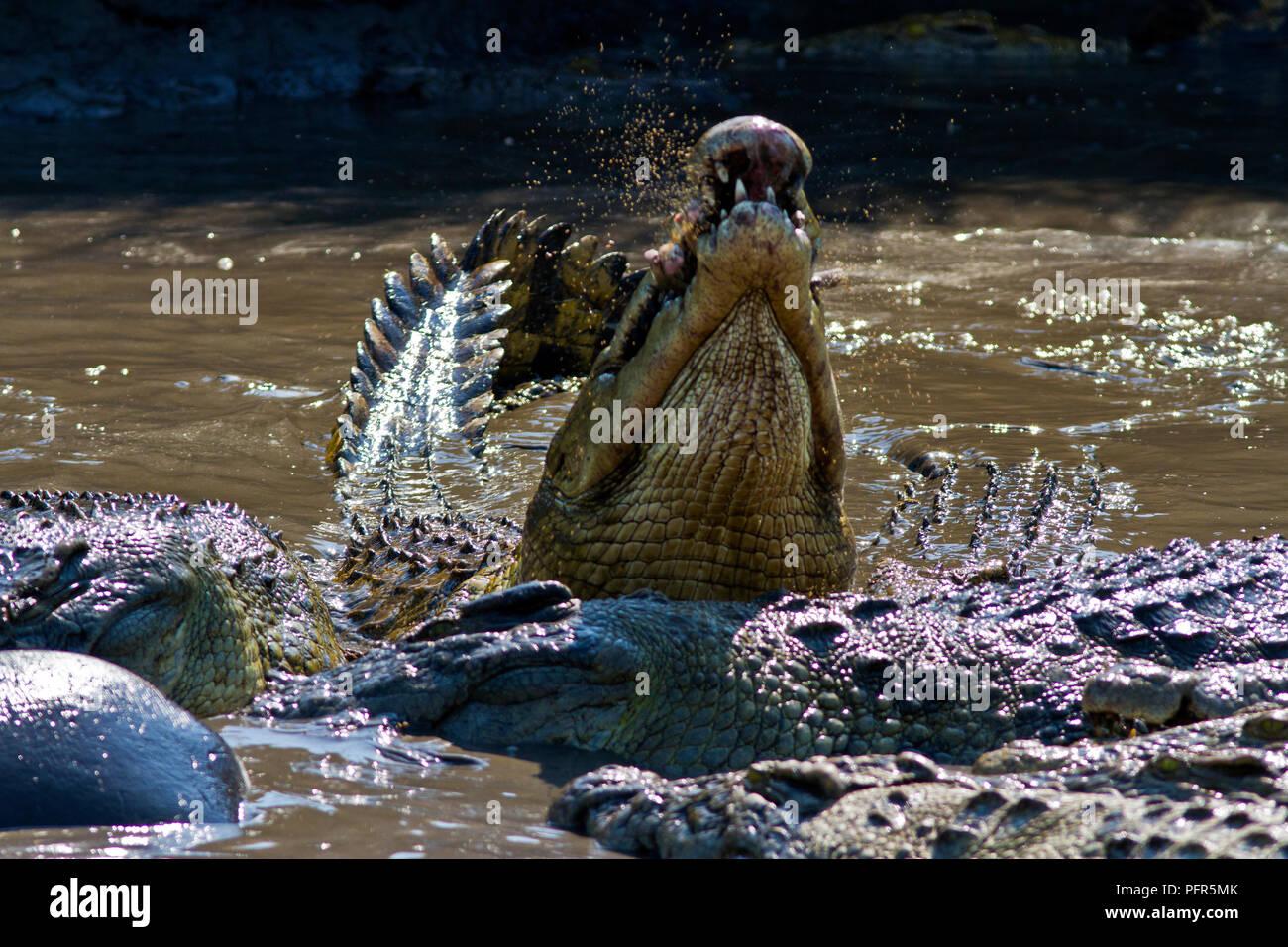 Große Krokodile fest aus den Überresten eines toten Hippo. Jede große Krokodil Schwalben massiven Brocken Fleisch, Fell und Knochen, die ihren super-efficien Stockbild