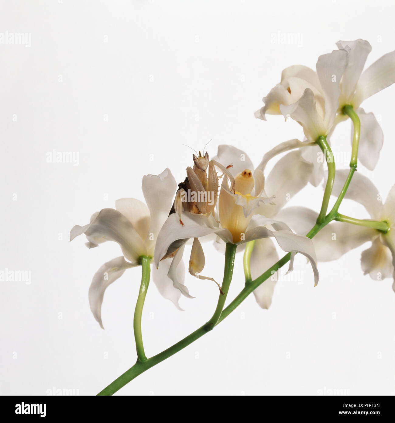 Orchid Mantis (Hymenopus coronatus) unter orchid flower Köpfe, close-up Stockfoto