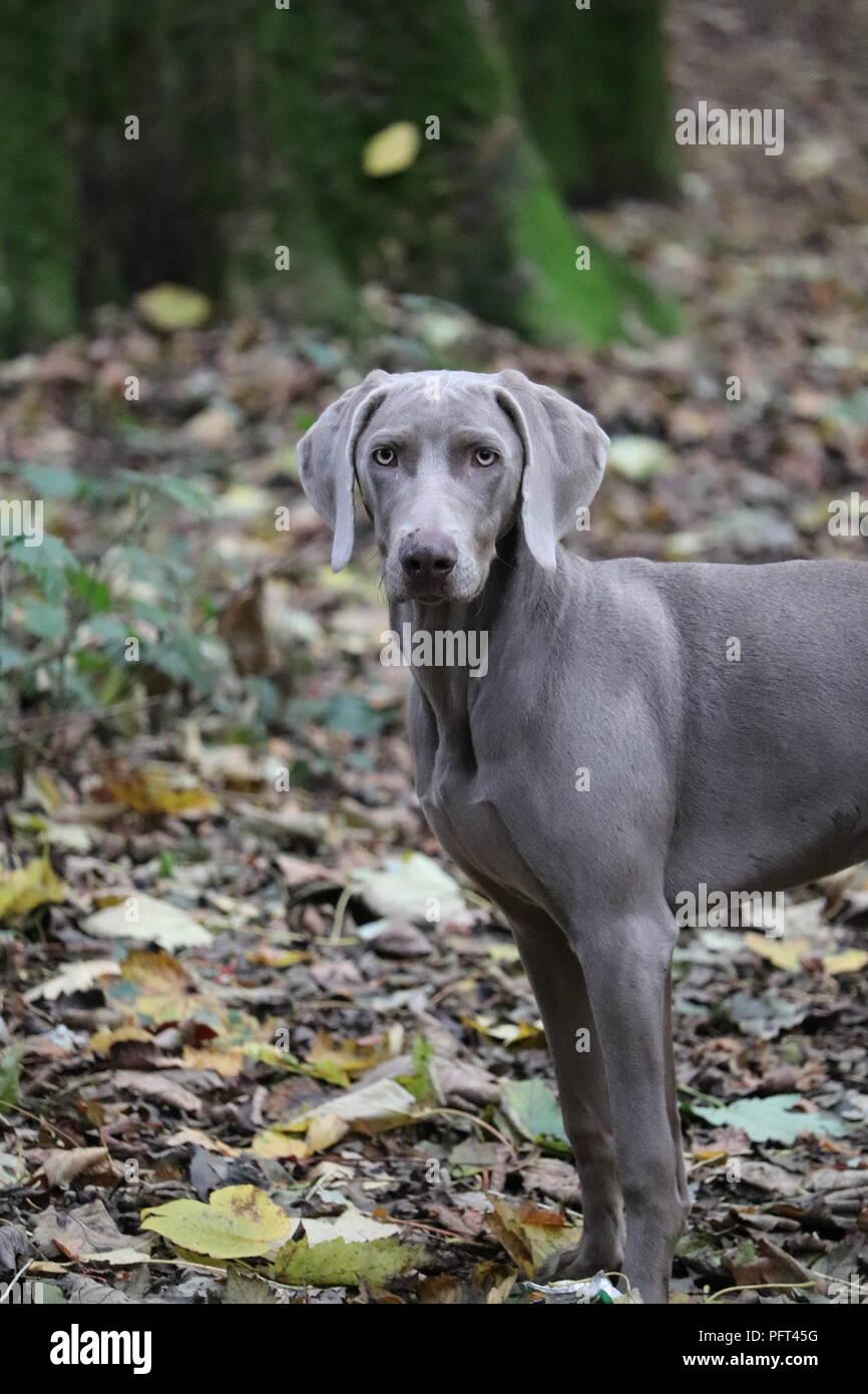 Hund MantelJunge Stammbaum Grauen Weimaraner Hündin nNwOX80Pk