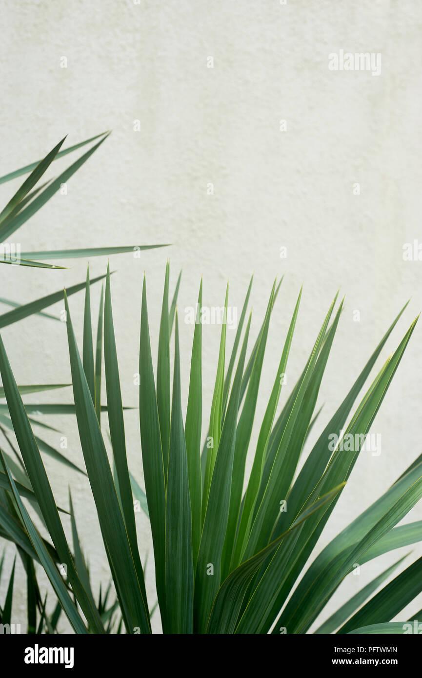 Southern Palm oder dracaena gegen eine weiße strukturierte Wand. Südliche Vegetation, Botanik Stockbild